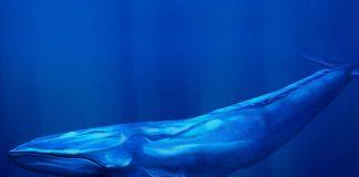 A blue whale